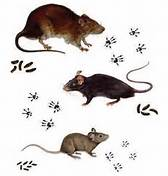 Different types of rodents matched with their respective footprints and droppings